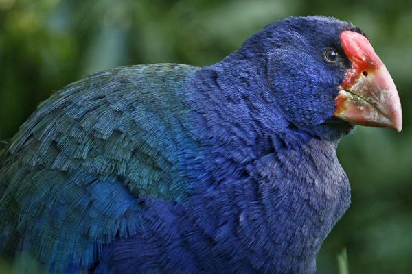 Bild 1 von 9: Der Takahe ist ein Urvogel Neuseelands.