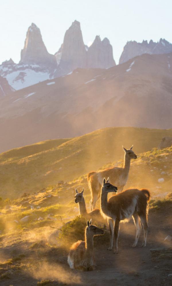 Bild 1 von 15: Guanakos leben in Südamerika in Höhen bis zu 4000 Metern