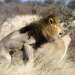 Bilder zur Sendung: Die Löwen der Kalahari
