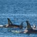 Faszinierende Orcas