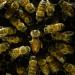Bienen - Eine Welt im Wandel