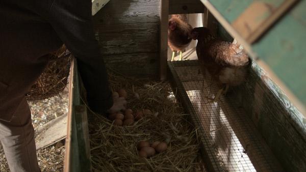 Bild 1 von 10: Eier im Bio-Legehennenstall.