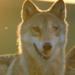 Bilder zur Sendung: Der letzte Wolf