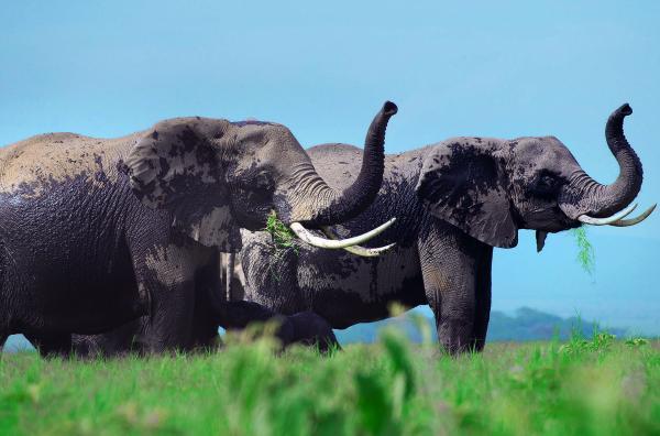 Bild 1 von 7: Nur noch 350.000 Savannen-Elefanten leben heute in Afrika, die größten Populationen findet man in Botsuana, Simbabwe, Tansania, Kenia und Südafrika.