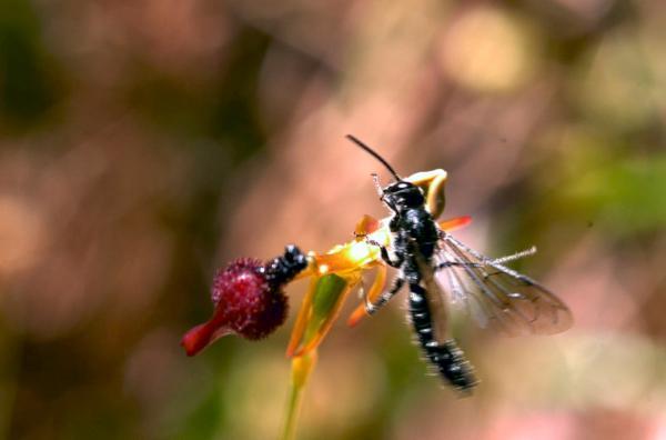 Bild 1 von 4: Die Orchidee Drakaea glyptodon imitiert mit ihrem Blütenblatt eine weibliche Wespe und versprüht sogar deren Pheromon -- es ist so lebensecht, dass die Männchen mehr als einmal darauf hereinfallen ...