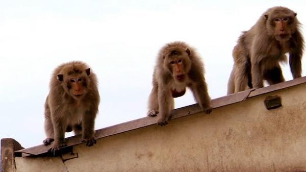 Bild 1 von 3: Affen kennen untereinander kein Erbarmen.