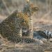 Im Reich der Leopardin