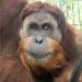 Gober - Vom Schicksal einer Orang-Utan-Mutter