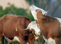Ziemlich wilde Rinder