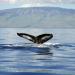 Das Geheimnis der Buckelwale