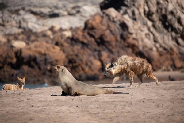 Bild 1 von 15: Schakale und Hyänen suchen an der Küste Namibias nach Beute.