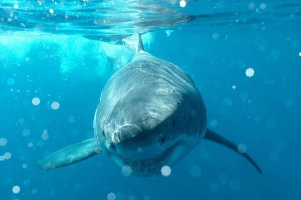 Bild 1 von 3: Ein großer Weißer Hai in der Nähe der mexikanischen Insel Guadalupe