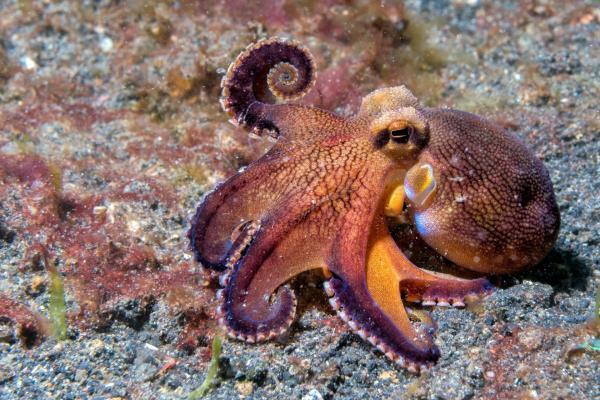 Bild 1 von 2: Oktopusse sind erstaunlich neugierig.