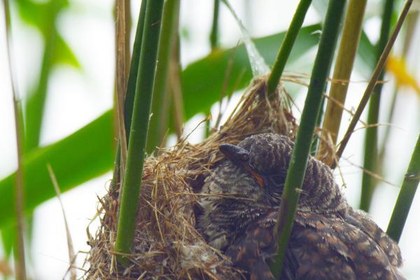 Bild 1 von 3: Der heimische Kuckuck füllt das ganze Nest des Teichrohrsängers aus. Er ist um ein Vielfaches größer als seine Zieheltern.