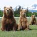 Bären wie wir