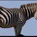 Punda - Das Zebra