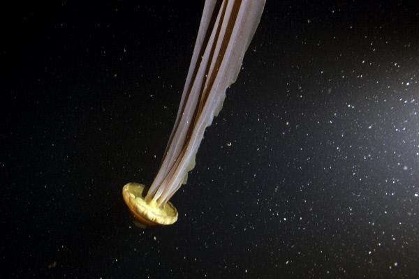 Bild 1 von 5: Über zehn Meter Länge können die Tentakel der Schirmqualle (Stygiomedusa gigantea) erreichen - - ein Beispiel für Tiefsee-Gigantismus vor Antarktika.