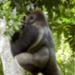 Bilder zur Sendung: Angelique und die Gorillas