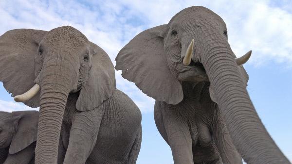 Bild 1 von 8: Aus dem Blickwinkel einer künstlichen Schildkröte aufgenommen: Zwei Afrikanische Elefanten in Kenia beobachten den kleinen Spionage-Roboter.