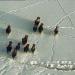 Bisons im Yukon-Winter