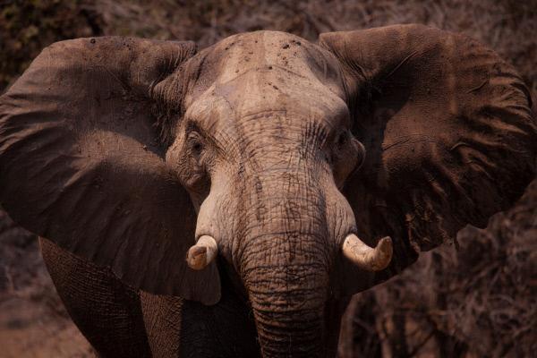 Bild 1 von 15: Die Elefanten im Mana Pools National Park, Simbabwe, sind ein imposanter Anblick.