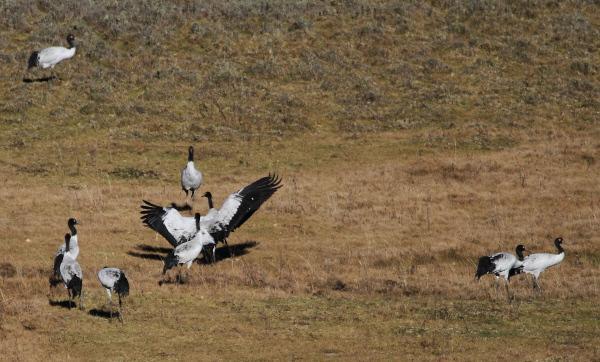 Himmelsvögel - Die Kraniche von Bhutan