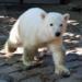 Bilder zur Sendung: Knut, der Eisb�rjunge