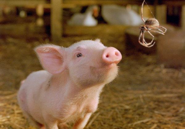 Bild 1 von 7: Die Farmertochter Fern nimmt sich des schwächsten der neugeborenen Ferkel an. Sie tauft es Wilbur und pflegt es, bis es stark genug ist, dem Abenteuer Stall und seinen zahlreichen Herausforderungen zu begegnen. Dort wartet denn auch ein Haufen streitlustiger Nutztiere auf das aufgeweckte Tierchen - und außerdem die Erkenntnis, dass am Ende der Saison geschlachtet wird. Voller Angst wendet sich Wilbur an die Spinne Charlotte, die als sein Schutzengel einen kühnen Plan webt.