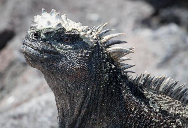 Bild 1 von 15: Auf Fernandina, einer der Galapagosinseln im Pazifik, lebt eines der seltsamsten Reptilien - der meergehende Leguan. Diese Tiere sind Vegetarier und finden an Land nur wenig Nahrung. So grasen diese Echsen auf dem Meeresgrund