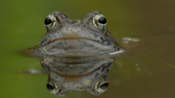 Bild 1 von 12: Wälder mit hohem Grundwasserstand sind der bevorzugte Lebensraum des Moorfroschs.