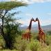 Giraffen - Die großen Unbekannten