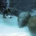 Bilder zur Sendung: Floridas Seekühe