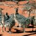 Strauße - Sprinter der Kalahari