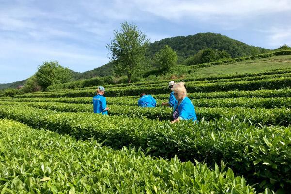 Bild 1 von 5: Teeernte in Dagomys, der nördlichsten Teeplantage der Welt.