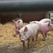 Schweine vom Fließband - Bleibt der Tierschutz auf der Strecke?