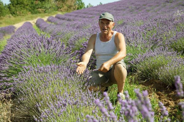 Bild 1 von 6: Bauer Gérard Blanc kämpft gegen die Lavendelseuche.
