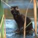 Marderhunde - Vom Amur bis zur Elbe