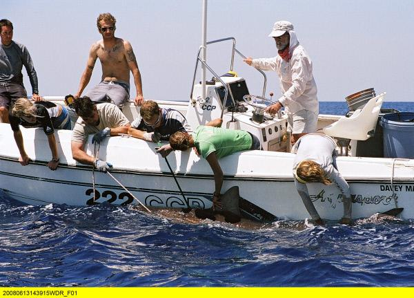 Bild 1 von 9: Die Wissenschaftler statten einen Tigerhai mit einem Sender aus, um ihn für Forschungszwecke orten zu können. (Bimini Islands/Bahamas).