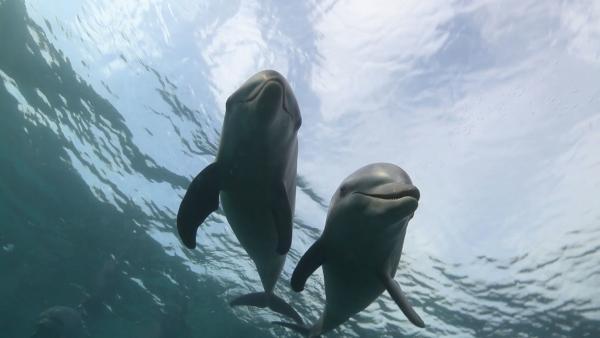 Bild 1 von 4: Große Tümmler leben in Partnerschaften mit einem anderen Männchen zusammen und wandern gemeinsam durch die Ozeane. Es ist eine lebenslange Gemeinschaft. Entlang der Korallenriffe, Strände und Mangrovenwälder der karibischen Inseln sucht ein einsamer Delfin, dessen Partner gestorben ist, nach Artgenossen. Es ist eine Reise, die ihn berühmt macht und ihm einen Spitznamen einbringt: Han Solo, der einsame Pilot der \