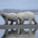 Im Angesicht des Raubtiers - Unter Eisbären