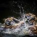 Bilder zur Sendung: Animal Fight Club - Raubkatzen im Duell
