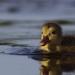 Die wunderbare Welt der Enten