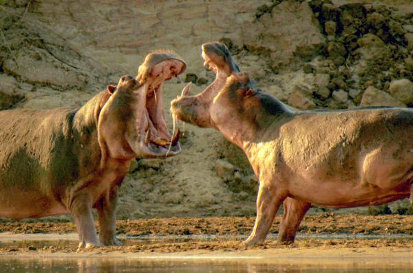 Bild 1 von 5: In der ausgetrockneten Savanne bekommt nur das stärkste Nilpferd die letzte Pfütze.