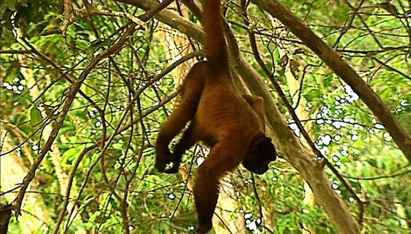 Bild 1 von 2: Der mächtige Wollaffe, der stärkste Affe des Amazonasregenwaldes, hat gerade seinen Gegner besiegt. Nur die Affen der neuen Welt besitzen kräftige Greifschwänze.