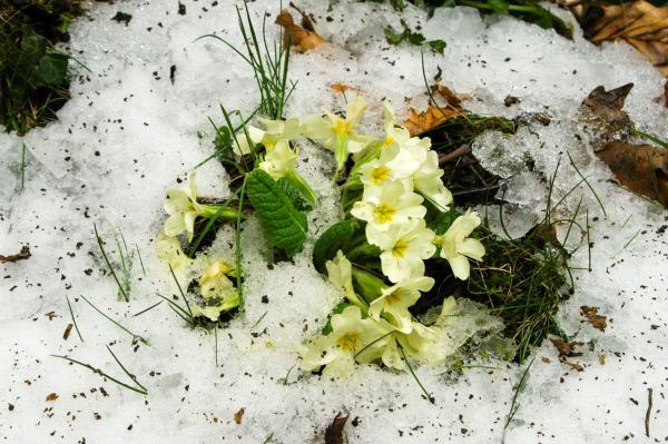 Bild 1 von 9: Primeln im Schnee.