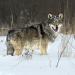 Radioaktive Wölfe
