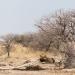 Jäger der Wüste - Wilde Löwen
