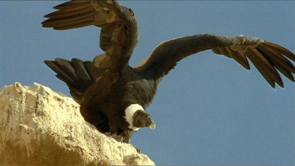 Bild 1 von 3: Der mächtige Kondor, der König der Lüfte, startet zum Flug über sein riesiges Herrschaftsgebiet.