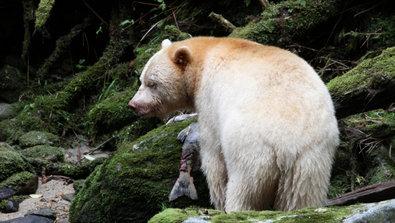 Bild 1 von 40: Oft fressen die Geisterbären die Lachse nicht ganz, sondern nur den Rogen.