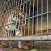 Bilder zur Sendung: Die Reise der Raubkatzen - Rettung für ehemalige Zirkus-Tiere